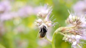 Champ pourpre de Tansy avec le bourdon Détail des fleurs roses vert-bleu dans la fleur secouant avec des abeilles banque de vidéos