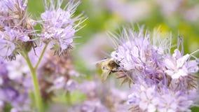 Champ pourpre de Tansy avec le bourdon Détail des fleurs roses vert-bleu dans la fleur secouant avec des abeilles clips vidéos