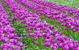 Champ pourpre de tulipe Photos libres de droits