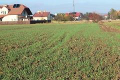 Champ poussé de cultures d'hiver au printemps dans le village Pousses vertes de céréale poussant sur le sol labouré Nouvelle cult photos libres de droits