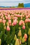 Champ rose de tulipe Image libre de droits