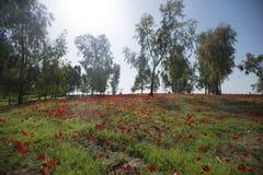 Champ rouge d'Anemone Coronaria en Israël image libre de droits