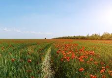 Champ rouge de pavot avec le ciel ensoleillé photographie stock libre de droits