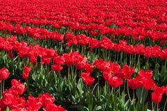 Champ rouge de tulipe Photo libre de droits
