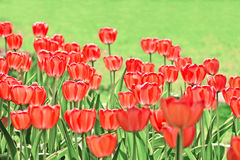 Champ rouge de tulipes Photo stock
