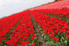 Champ rouge de tulipes photographie stock