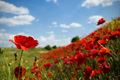 Champ rouge fleurissant de pavots sur le flanc de coteau Image stock