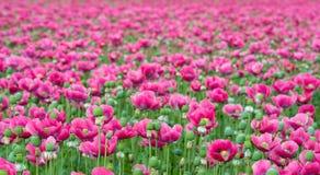 Champ sans fin avec les pavots fleurissants roses Photo stock