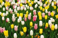 Champ sans fin des tulipes de ressort Image stock