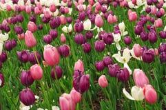 Champ sans fin des tulipes violettes et roses Photographie stock