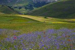 Champ sauvage des bleuets en Castelluccio di Norcia, Ombrie Images libres de droits