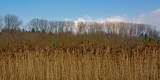 Champ tubulaire d'or avec les arbres nus derrière le poaceae Photographie stock libre de droits