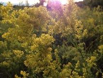 Champ ukrainien avec les wildflowers jaunes photographie stock libre de droits