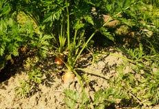 Champ végétal avec des carottes Photographie stock