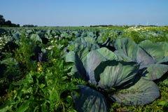 Champ végétal avec des usines de chou Image libre de droits