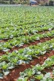 Champ végétal vert dans la ferme Photos stock