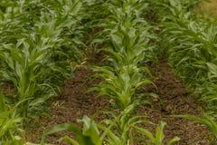Champ vert avec des rangées de jeune maïs au coucher du soleil Photo libre de droits