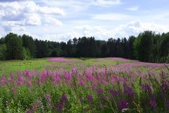 Champ vert avec les fleurs pourpres lumineuses de sortie-fleur photographie stock libre de droits
