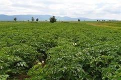 Champ vert avec les plantes de pomme de terre de floraison Photographie stock libre de droits
