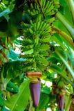 Champ vert de banane, groupe de banane avec la fleur photographie stock