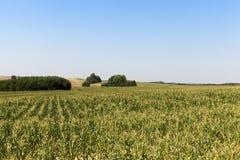 Champ vert de maïs Photographie stock libre de droits