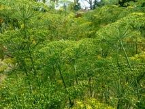 Champ vert des fleurs ressemblant aux arbres image stock