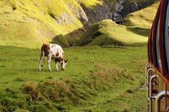 Champ vert et une vache mangeant l'herbe avec la montagne comme fond Photos libres de droits