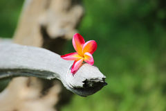 Champa-Blumen benutzt für Hintergrund und Tapete Stockbilder