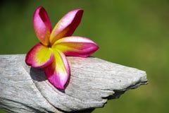 Champa-Blumen benutzt für Hintergrund und Tapete Lizenzfreie Stockbilder