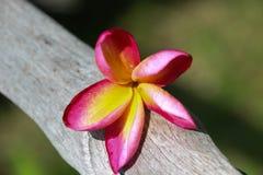 Champa-Blumen benutzt für Hintergrund und Tapete Stockfotografie