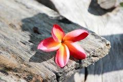 Champa-Blumen benutzt für Hintergrund und Tapete Lizenzfreies Stockfoto
