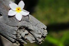 Champa-Blumen benutzt für Hintergrund und Tapete Stockfotos