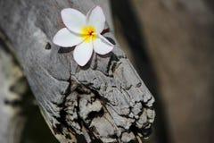 Champa-Blumen benutzt für Hintergrund und Tapete Lizenzfreie Stockfotografie