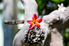 Champa-Blumen benutzt für Hintergrund und Tapete Lizenzfreies Stockbild