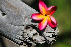 Champa-Blumen benutzt für Hintergrund und Tapete Stockfoto
