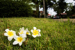 Champa flower. S on grass yelloer Royalty Free Stock Images