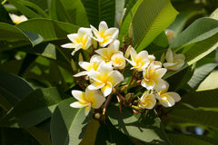 Champa. Flowers in the garden Stock Image