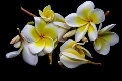 Champa flowers royalty free stock photos
