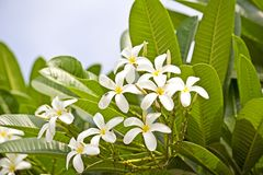 Champa flowers. Champa or Plumeria flowers. Ahmedabad, Gujarat Stock Images