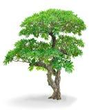 champa isolerad tree Arkivbilder