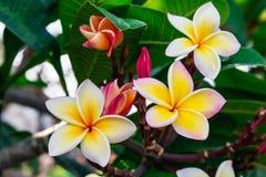 Champa Laos flower. Beautiful frangiapani panicle, Champa Laos flower Royalty Free Stock Image