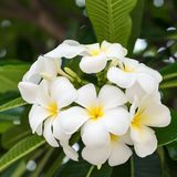 Champabloemen, witte bloemen Royalty-vrije Stock Afbeeldingen