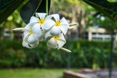 Champabloemen, witte bloemen Royalty-vrije Stock Foto's