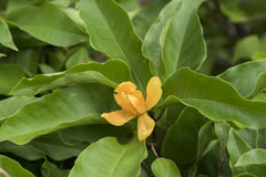 Champaca, Champa, Chempaka alaranjado, Champa dourado, Sony Champa (champaca Linn de Michelia ), árvore Fotografia de Stock Royalty Free