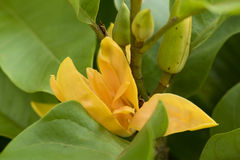 Champaca, Champa, Chempaka arancio, Champa dorato, Sony Champa (champaca Linn di Michelia ) Fotografie Stock Libere da Diritti