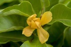 Champaca, Champa, orange Chempaka, goldenes Champa, Sony Champa (Michelia-champaca Linn etwas körniges) Lizenzfreies Stockfoto