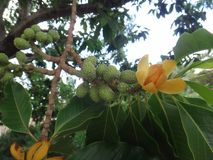 Fruits and flower of champak tree Stock Image