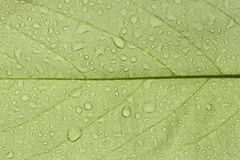 Champaca leaf. Royalty Free Stock Image