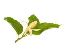 Желтое champaca Michelia alba x Michelia, Таиланд Стоковое Изображение RF