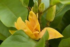 Champaca,占城,橙色Chempaka,金黄占城,索尼占城(Michelia champaca Linn ) 免版税库存照片